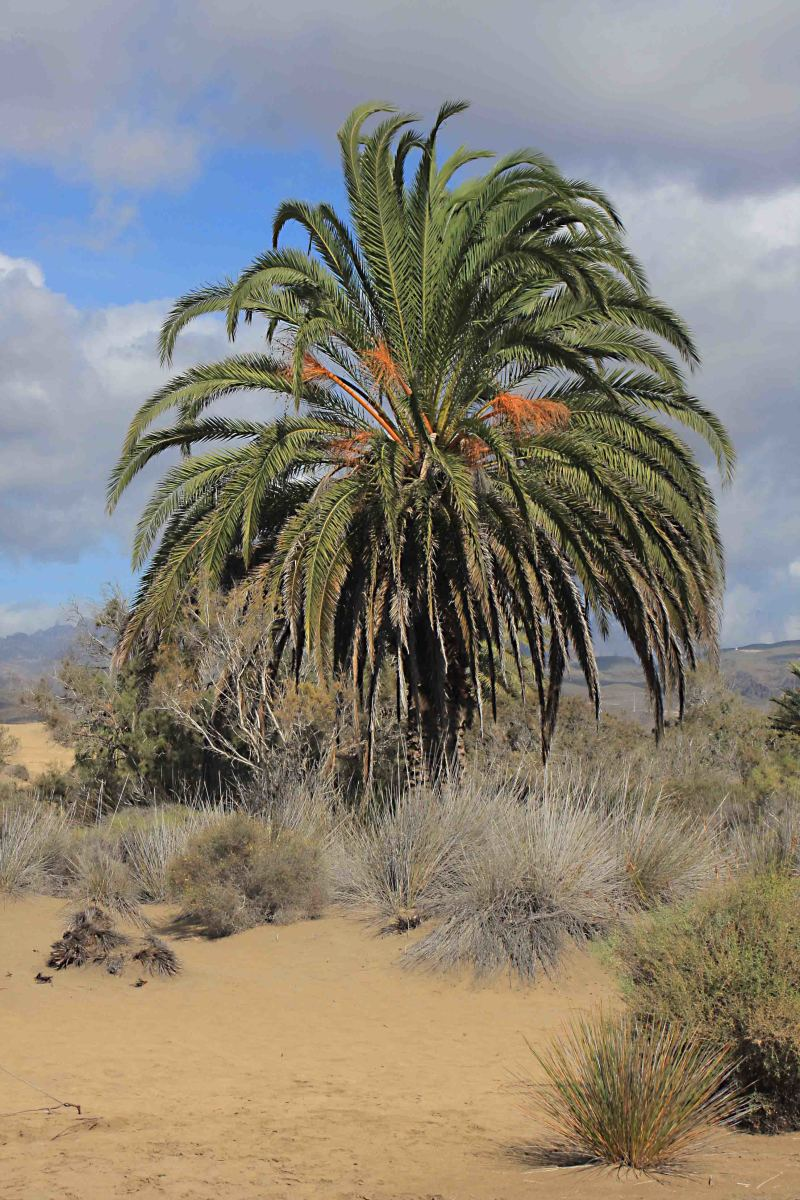 The Canary Island Palm Tree