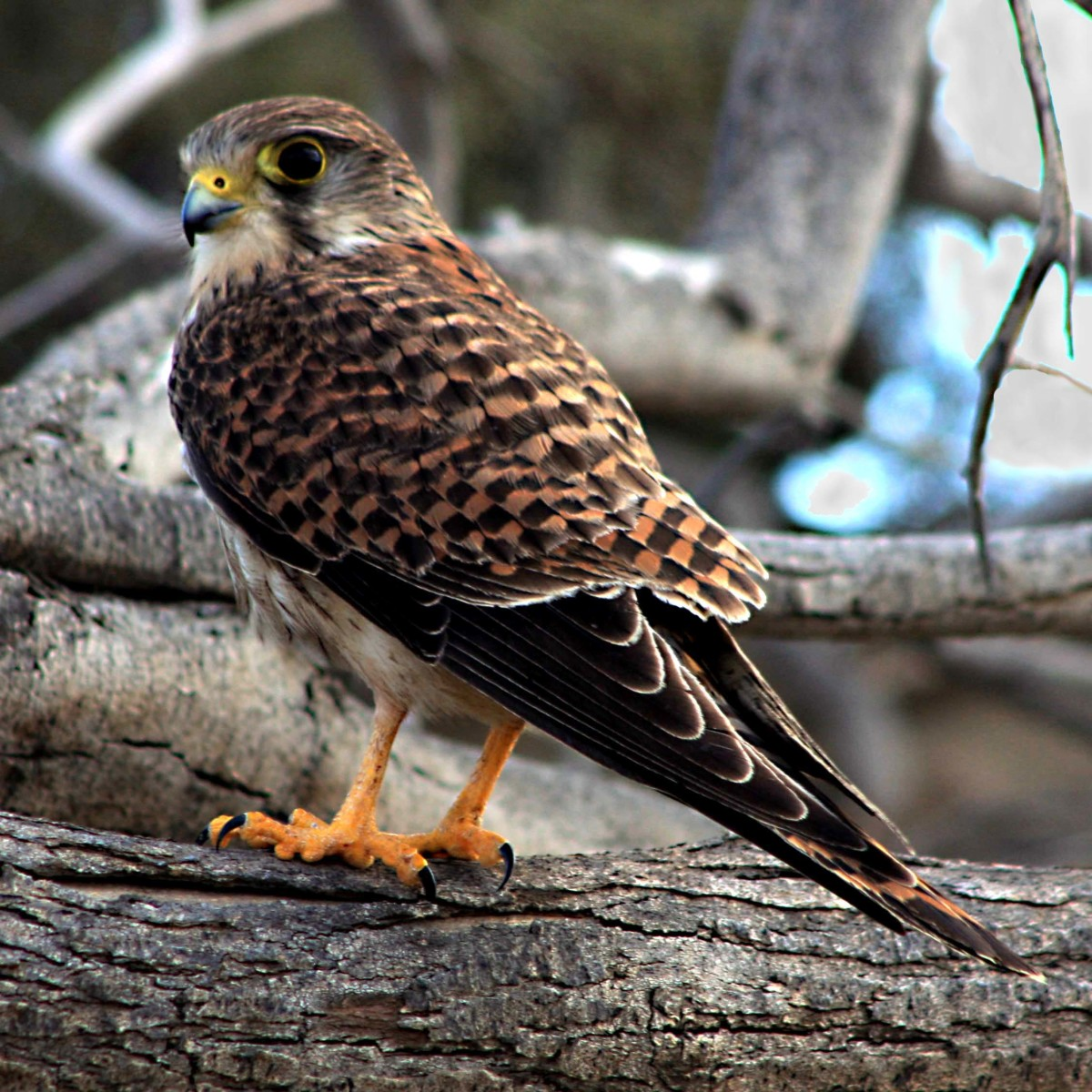 A female kestrel keeps a wary eye on the photographer, whilst hunting a small lizard