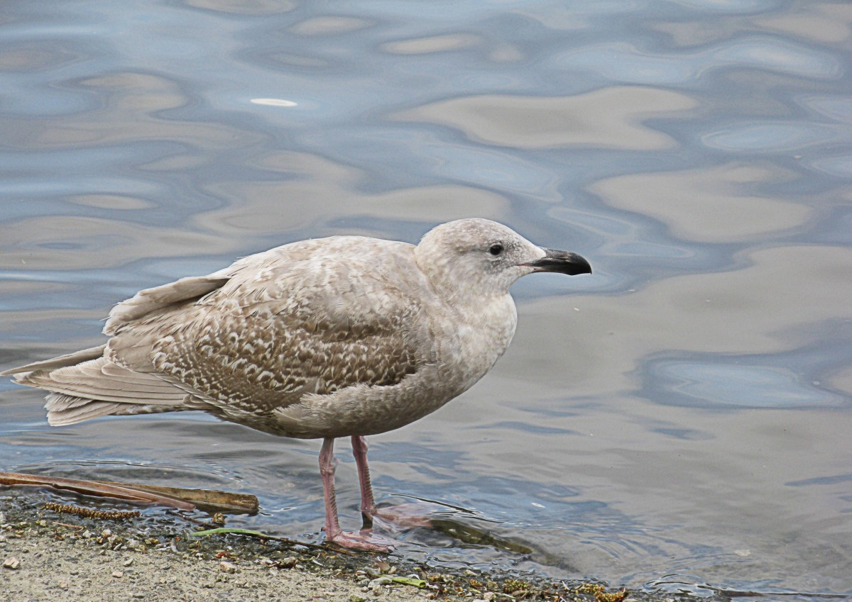 A juvenile glaucous-winged gull has a black bill and mottled brown plumage