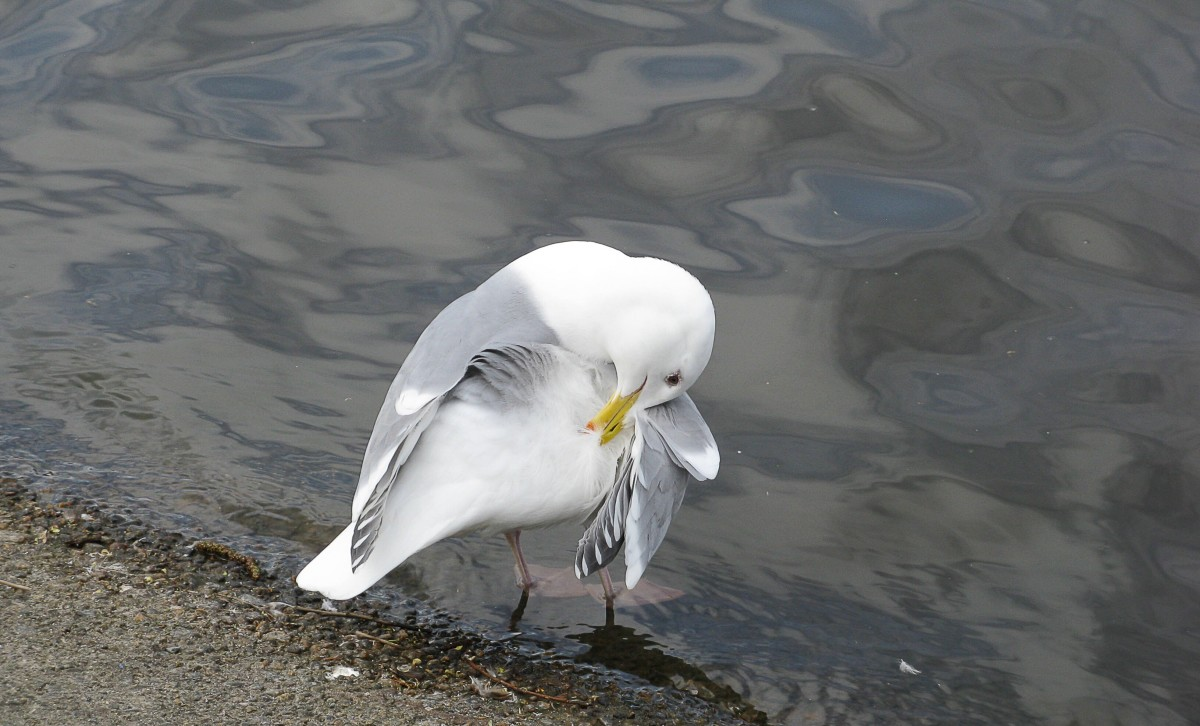 An adult gull preening