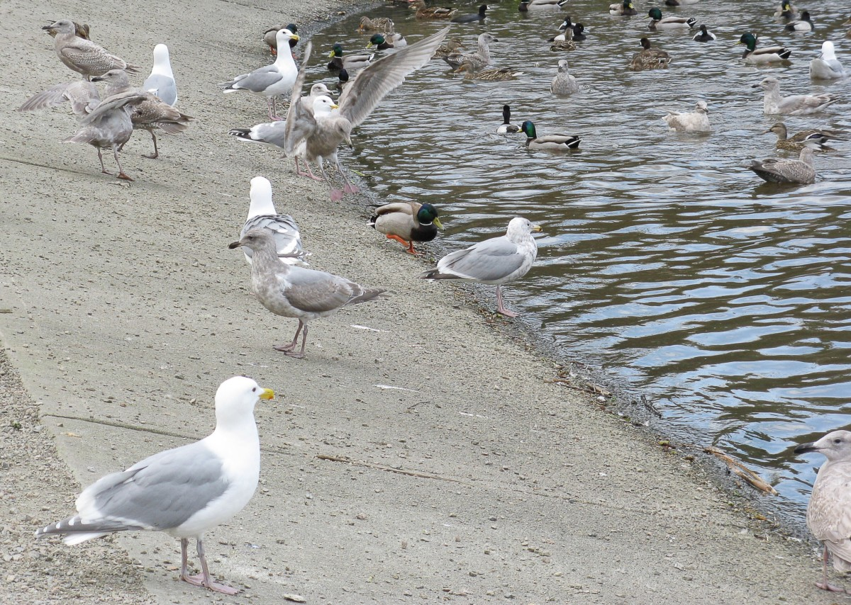 Glaucous-winged gulls, hybrid gulls, mallard ducks, and other ducks awaiting a handout at Lost Lagoon