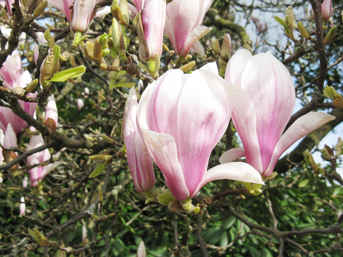 Pink and white magnolia flowers