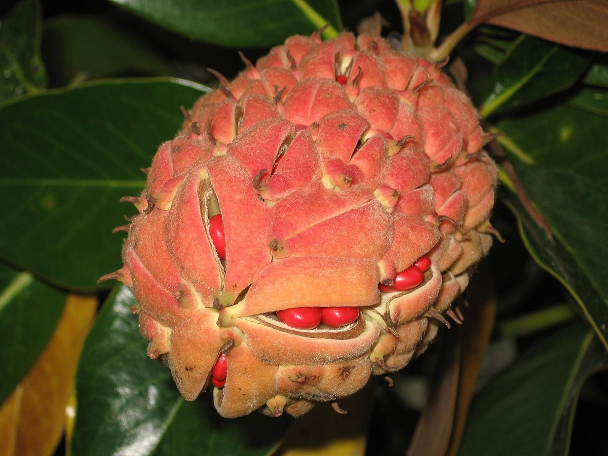 Magnolia grandiflora fruit and seeds