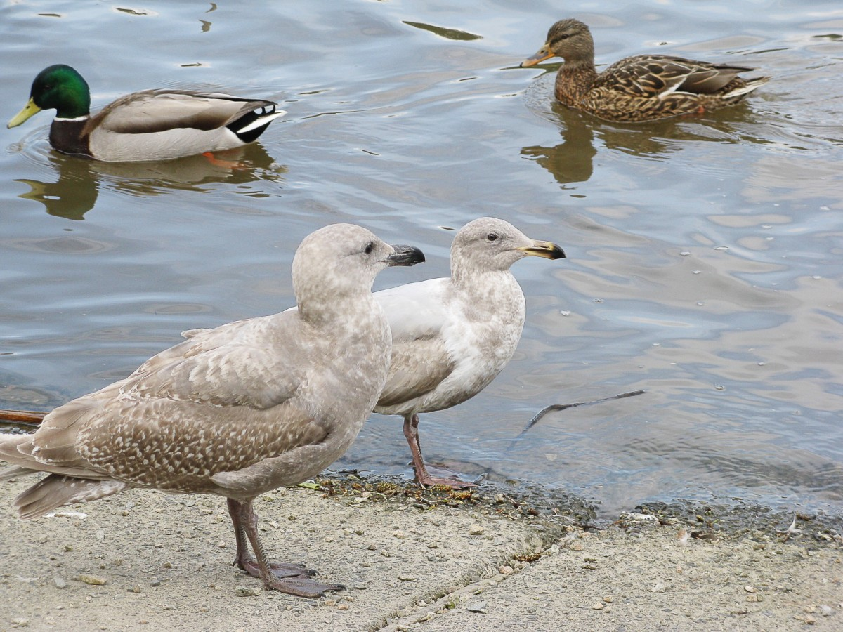Two juvenile gulls at different stages of development with a pair of mallard ducks in the background; a juvenile gull looks more and more like an adult as it matures