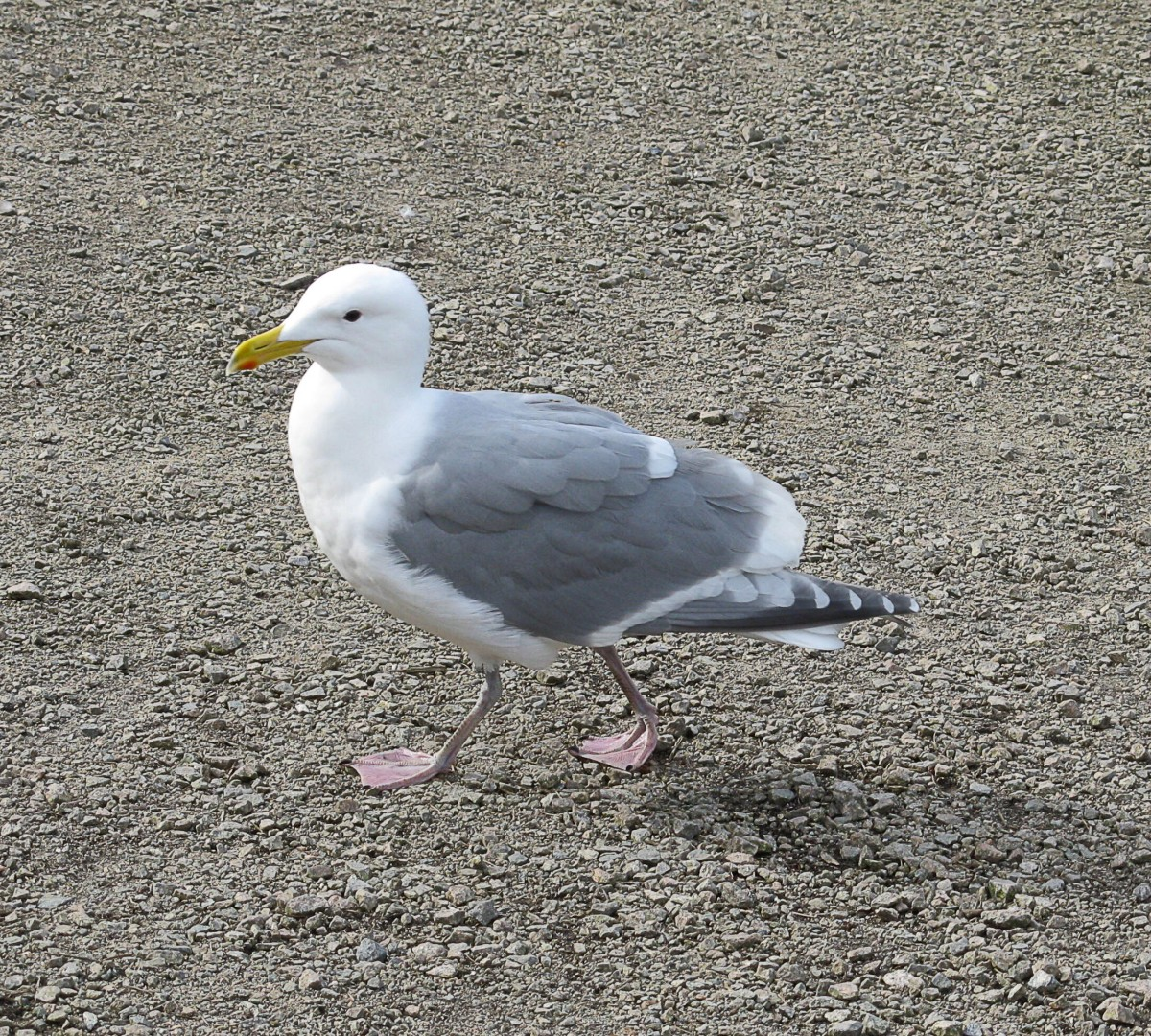 This bird at Lost Lagoon may be a glaucous-winged gull/western gull hybrid, since its wing tips are dark grey instead of medium grey.