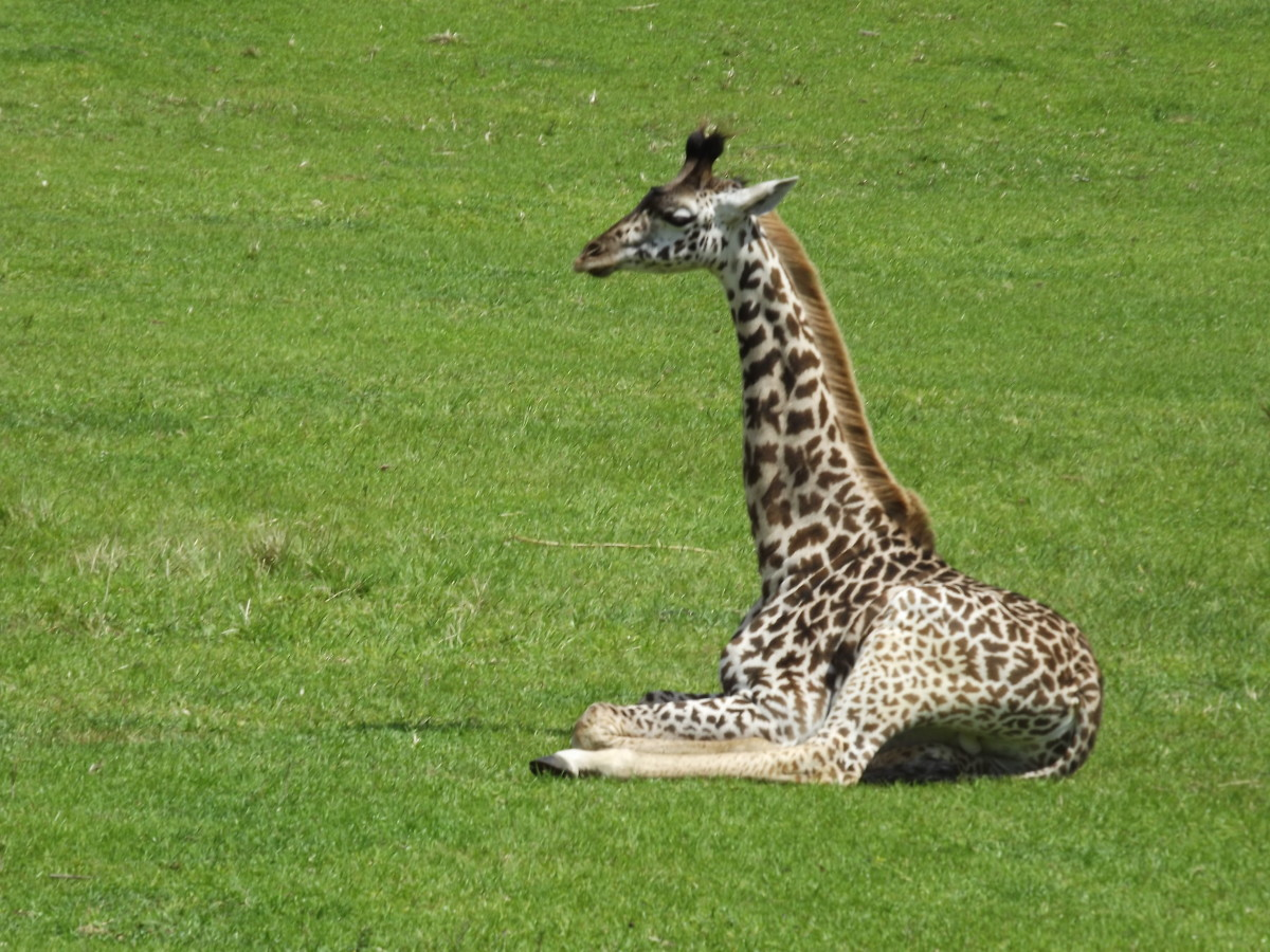 A baby giraffe on the Kilimanjaro Safari