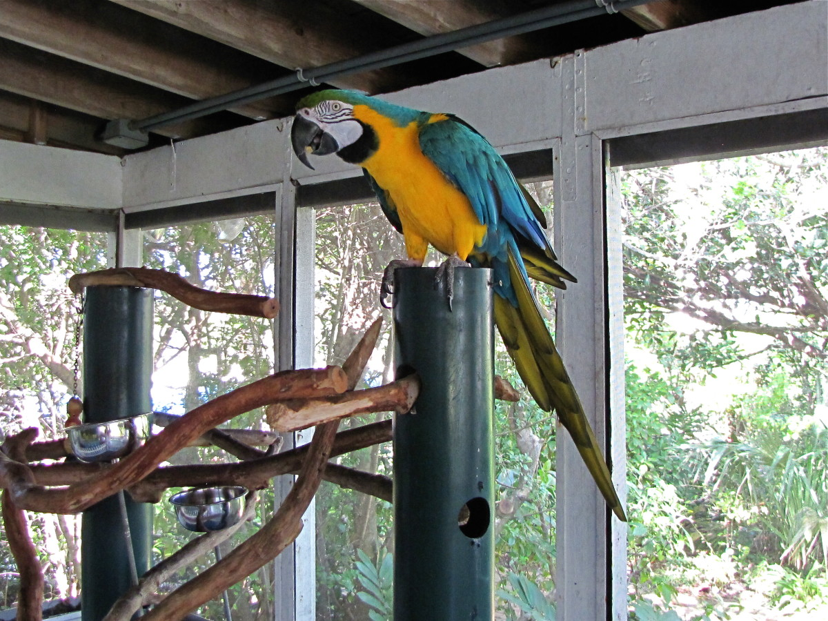 Crystal the Blue and Yellow Macaw