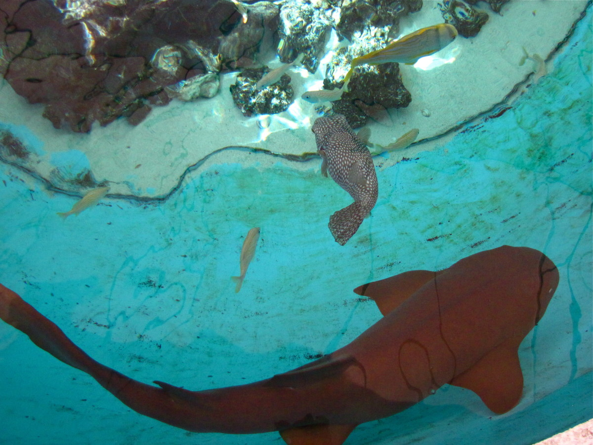 Nurse Shark and Puffer Fish share the pool