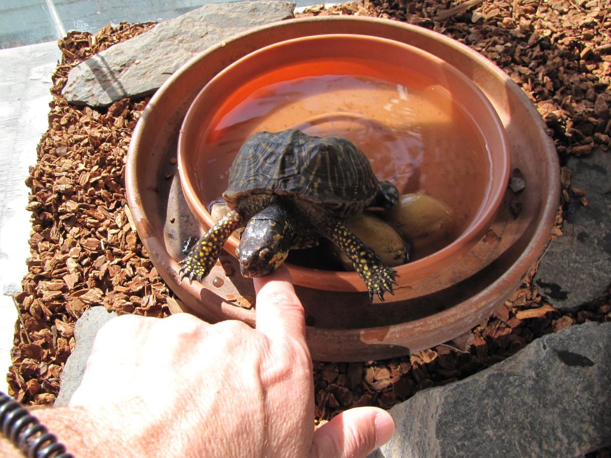 Gigi the Box Turtle