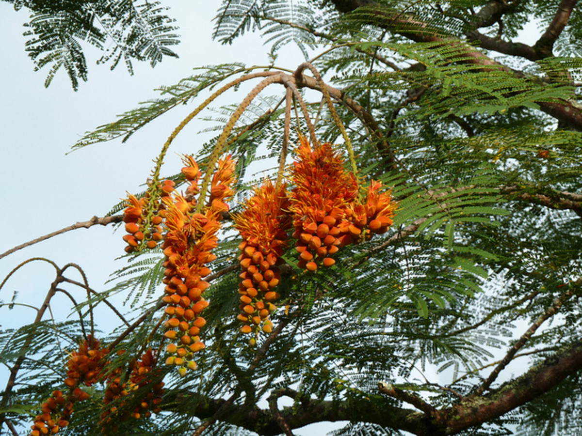 Colville's Glory at Hoomaluhia Botanical Garden