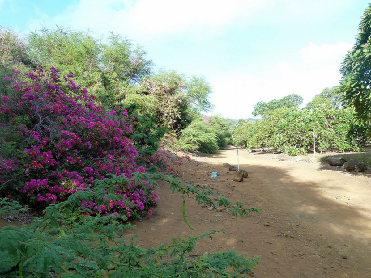 Flowering Shrubs Along The Trail In Koko Crater Botanical Garden
