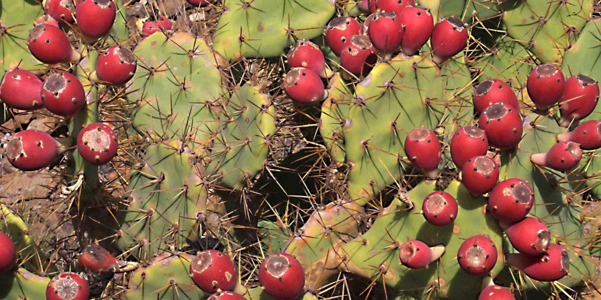The fruits of a prickly pear - not native, but a distinctive member of the flora