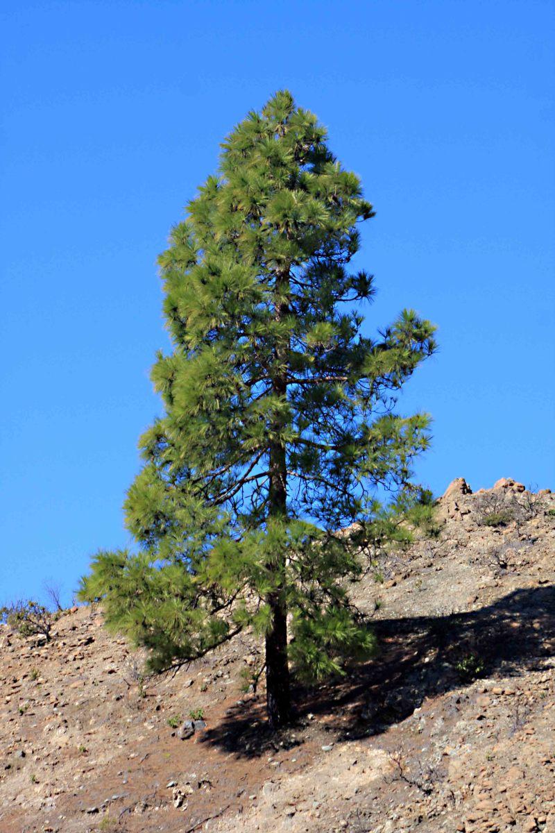 The Canary Island Pine