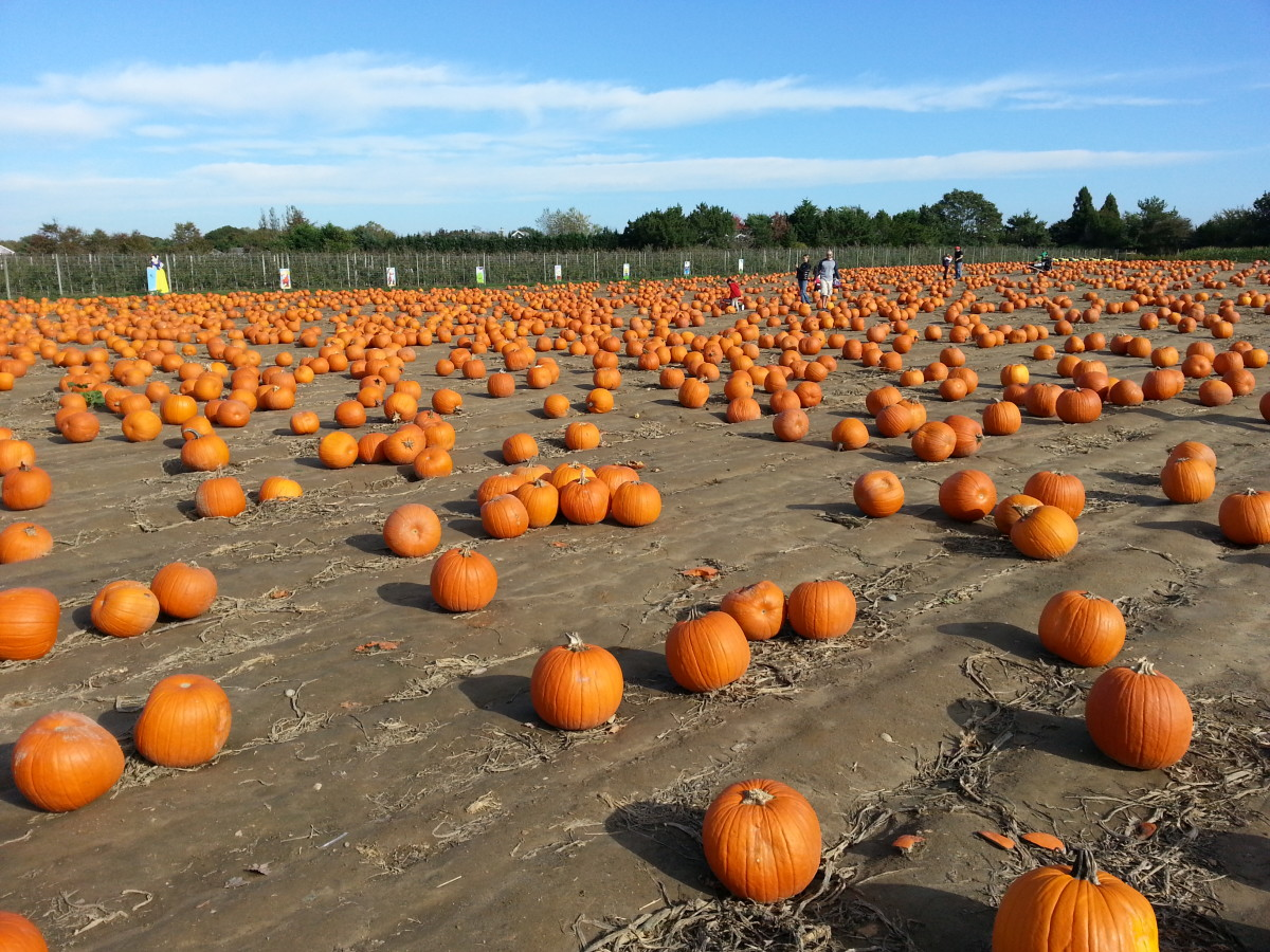 Hank's Pumpkintown, along the Montauk Highway near Southampton, has its in season during everyone else's out season.