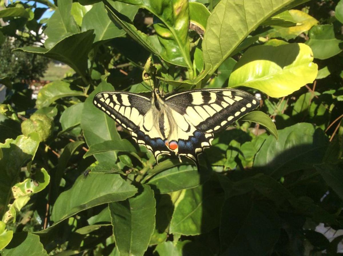 Newly emerged swallowtail butterfly on lemon tree.