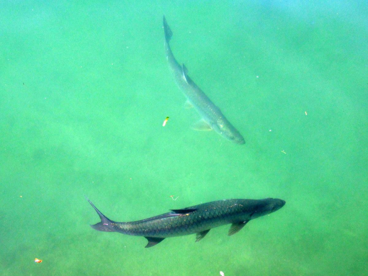 Tarpon swimming along the Harbor Walk