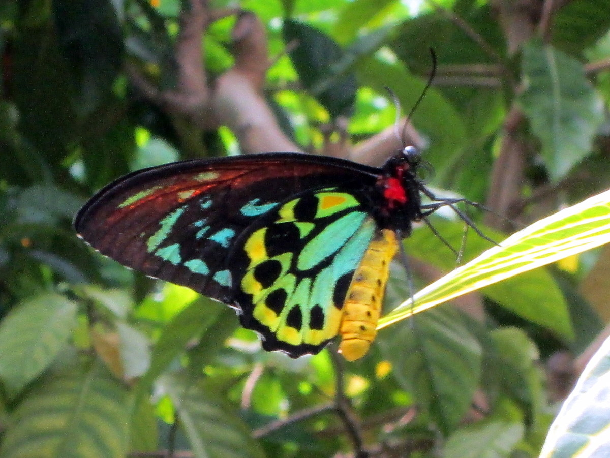 One of over 50 species of butterflies at the Key West Butterfly and Nature Conservatory