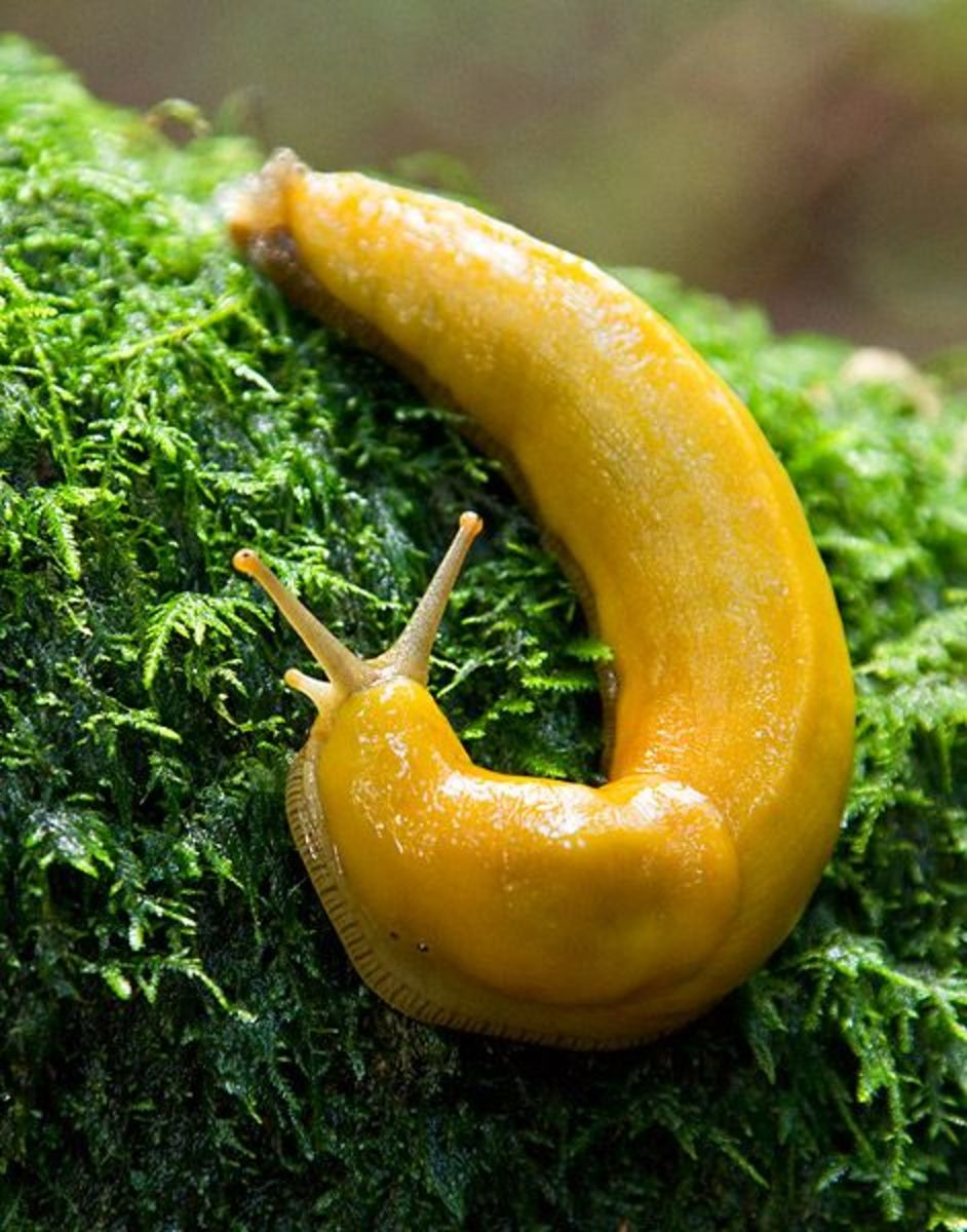 Banana slugs enjoy the moist atmosphere of temperate rain forests.