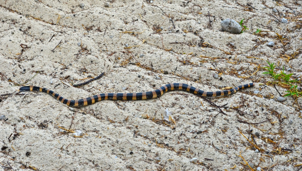 My friend the sea snake (c) A. Harrison