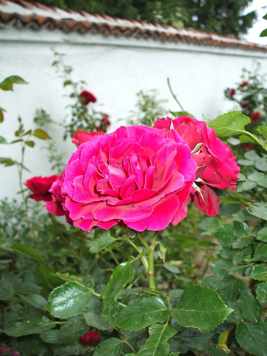 Rose flower - Rosa damascena