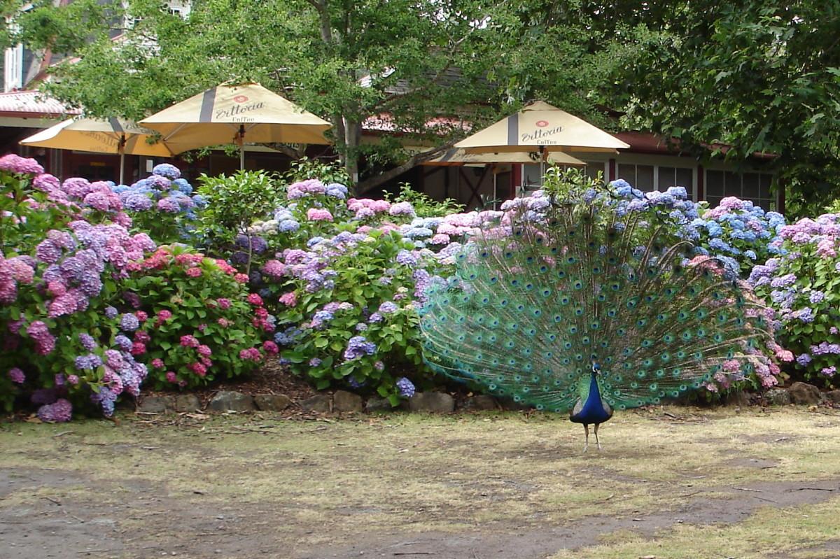 Peacocks at Cataract Gorge, Launceston