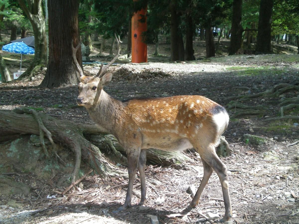 A deer in Nara (c) A. Harrison