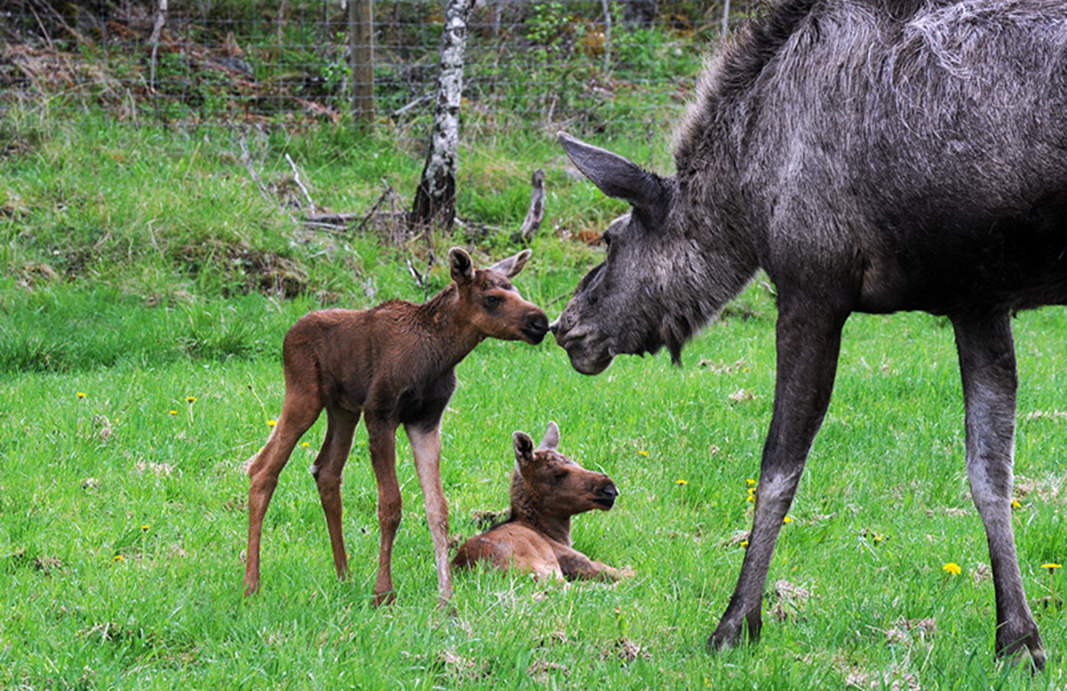 Moose (Alces alces) with calves at Gårdsjö älgpark (Gårdsjö moose park) in Uppland, Sweden.
