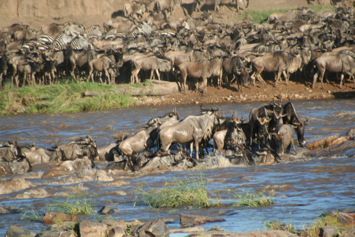 A Herd of Wildebeest at Maasai Mara