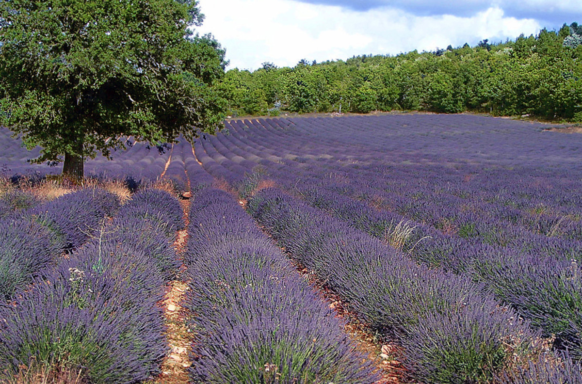 Rows of lavender ready for harvest.