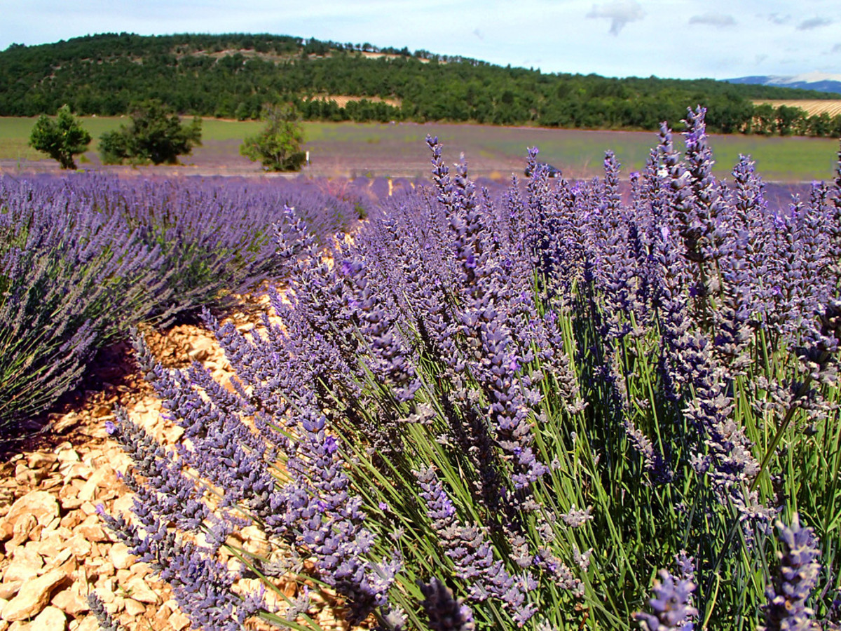Scent of lavender spreads for miles with the warm breezes.
