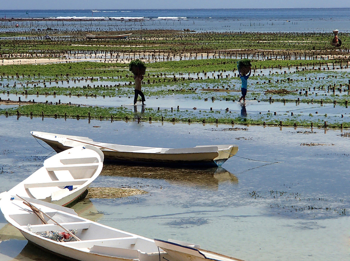 Seaweed beds at low tide, farmers carry freshly harvested seaweed home for drying.