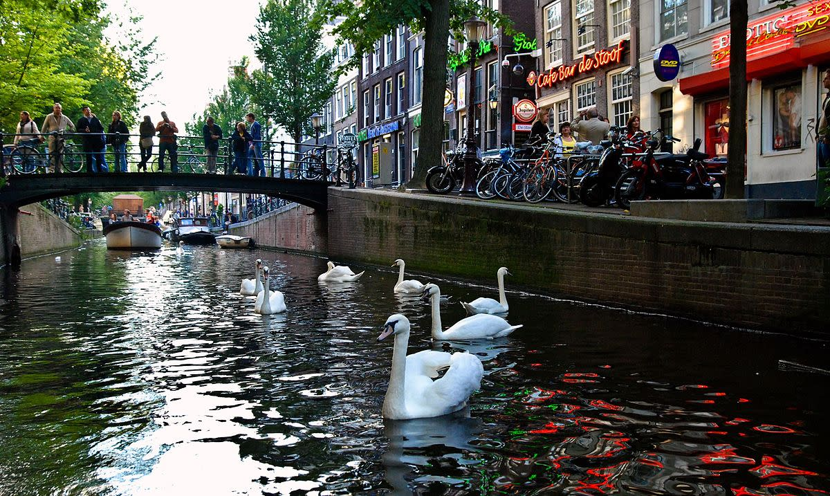 Swans on an Amsterdam canal.