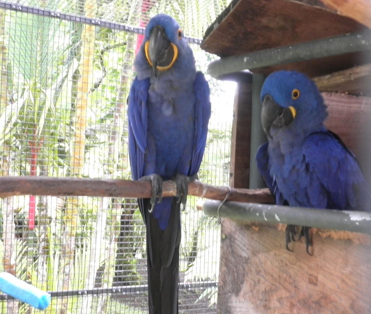 Hyacinth macaws, Pana'ewa Rainforest Zoo