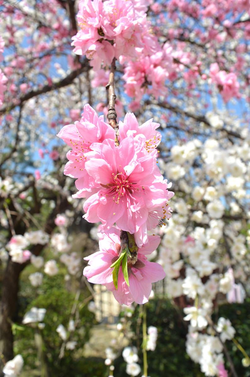 Sakura at mankai. Or full bloom.