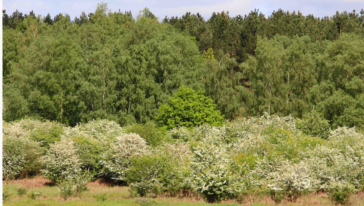 A pretty picture - hawthorn bushes and other trees at Grime's Graves