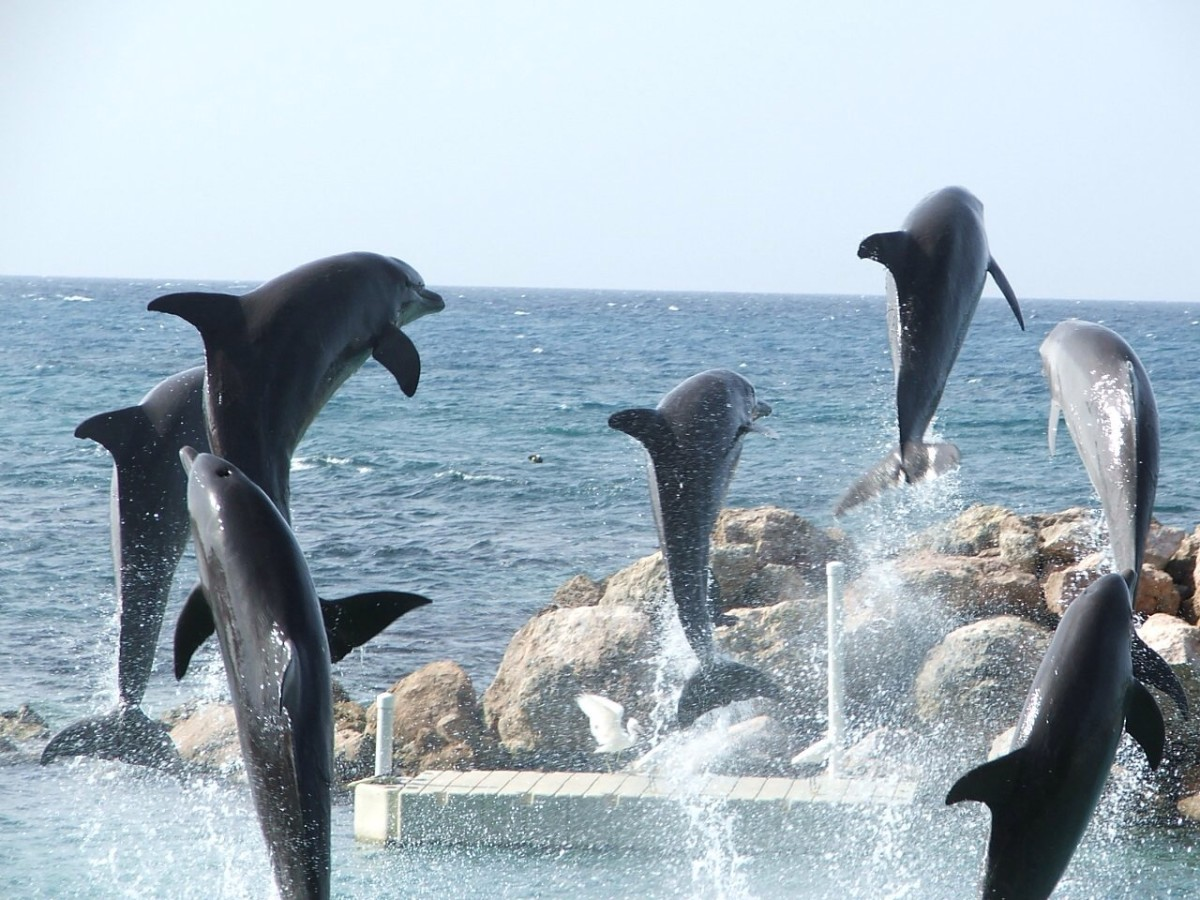 Swimming with dolphins like these is one of the most exciting things to do with kids in Grand Cayman