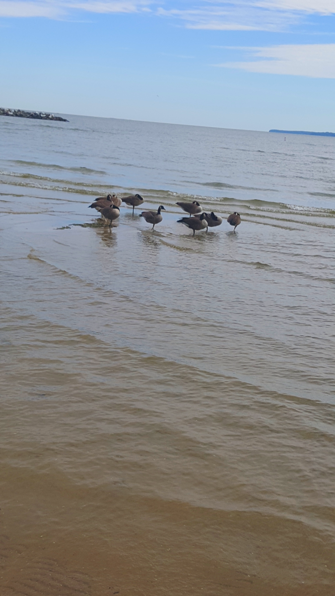 Canadian Geese enjoying Lake Erie at East Harbor State Park.