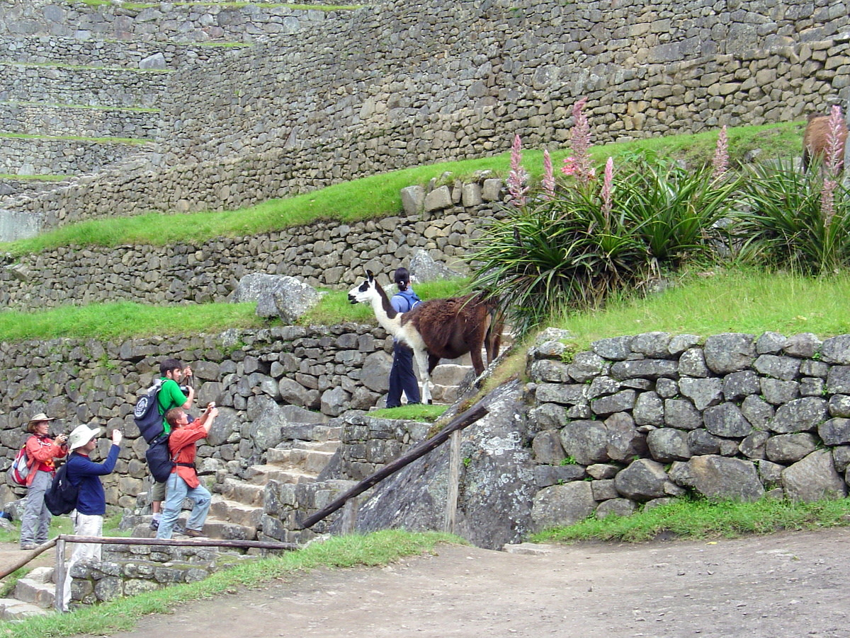 Tourists taking photos of llamas who reside among the ruins and function as lawnmowers.