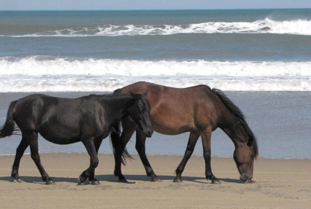 the-wild-spanish-mustangs-of-corolla-north-carolinas-outer-banks