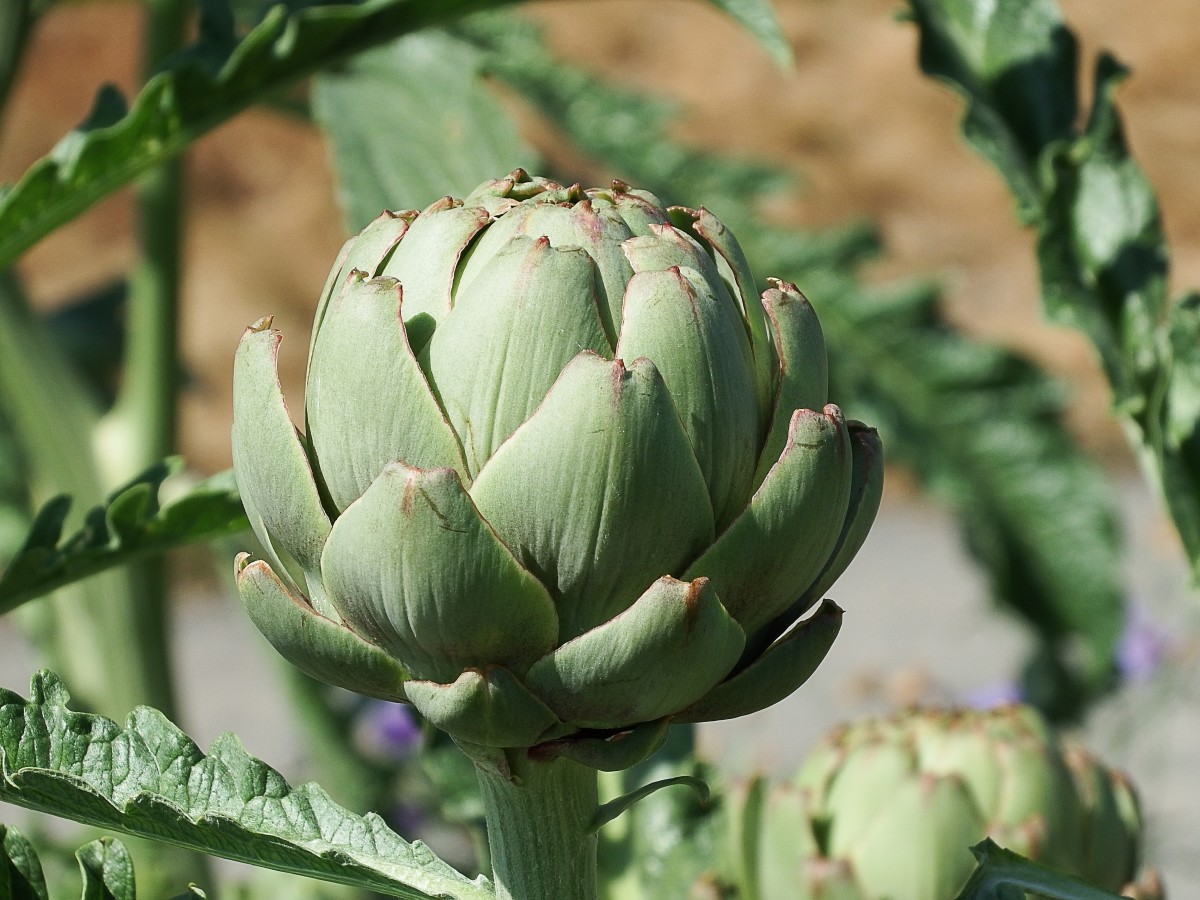 An immature artichoke flower head - the stage that is eaten