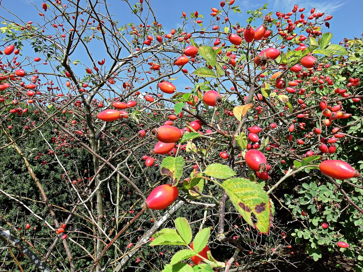 Rose hips are a good source of vitamin C.