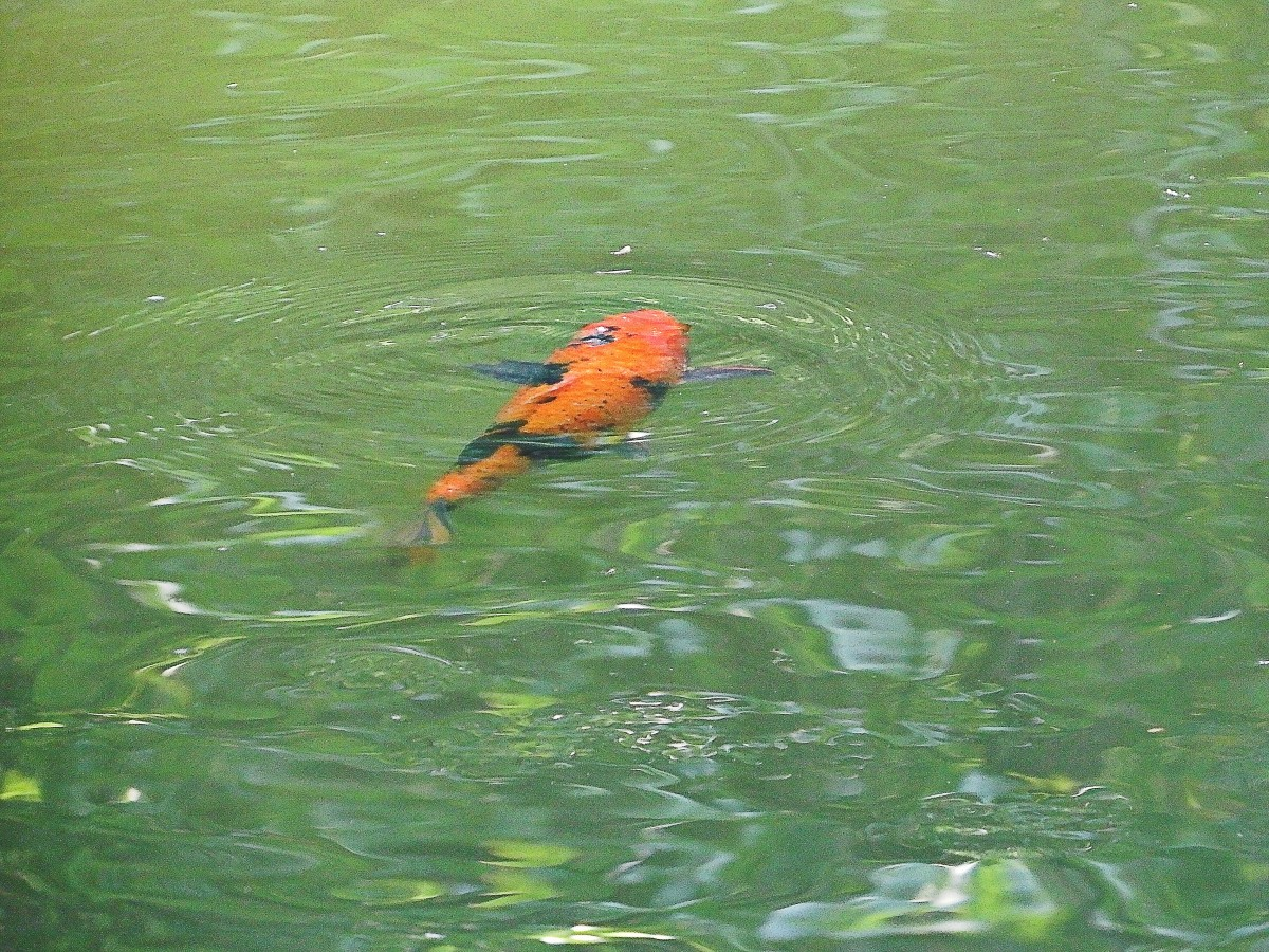 A colourful koi fish
