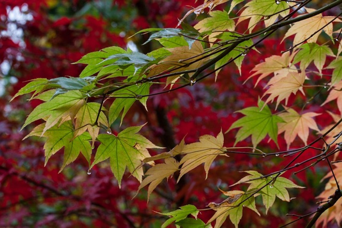 Check out the jaw-dropping palettes at the Seattle Japanese Garden's Maple Viewing Festival.