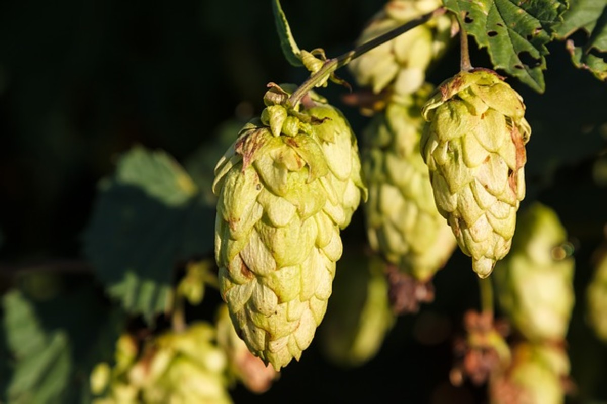Washington state's Yakima Valley is one of the most fertile hop growing regions in the world.