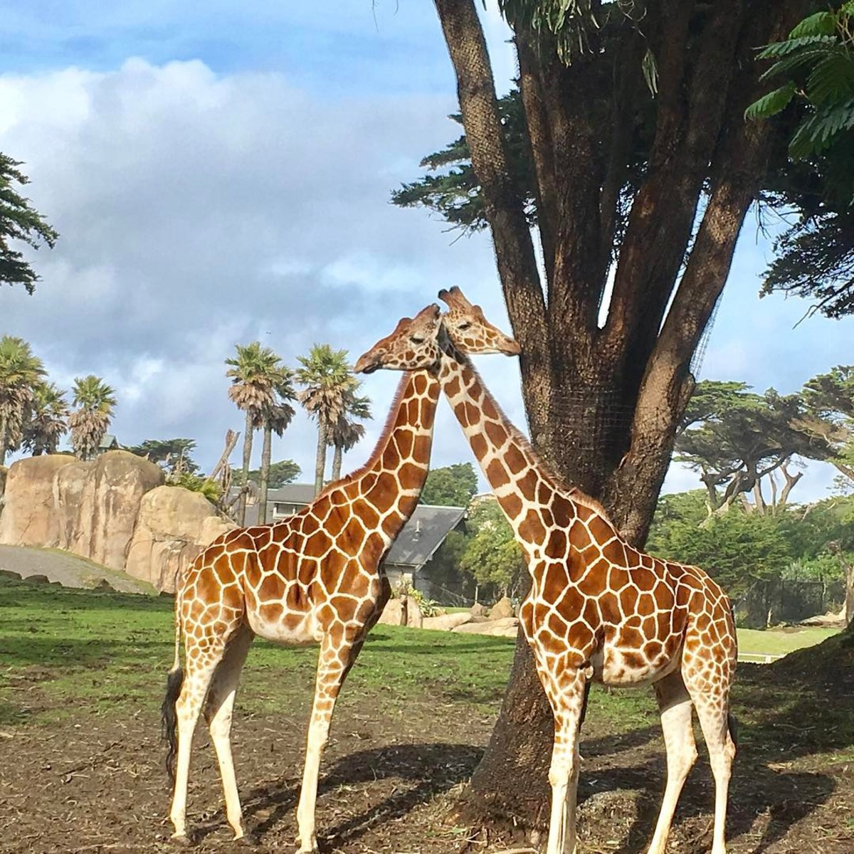 Giraffes at the San Francisco Zoo