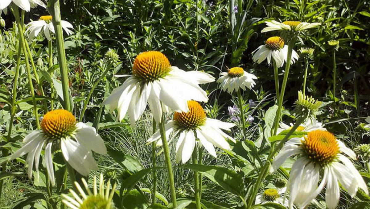 White Coneflowers inside Lurie Garden