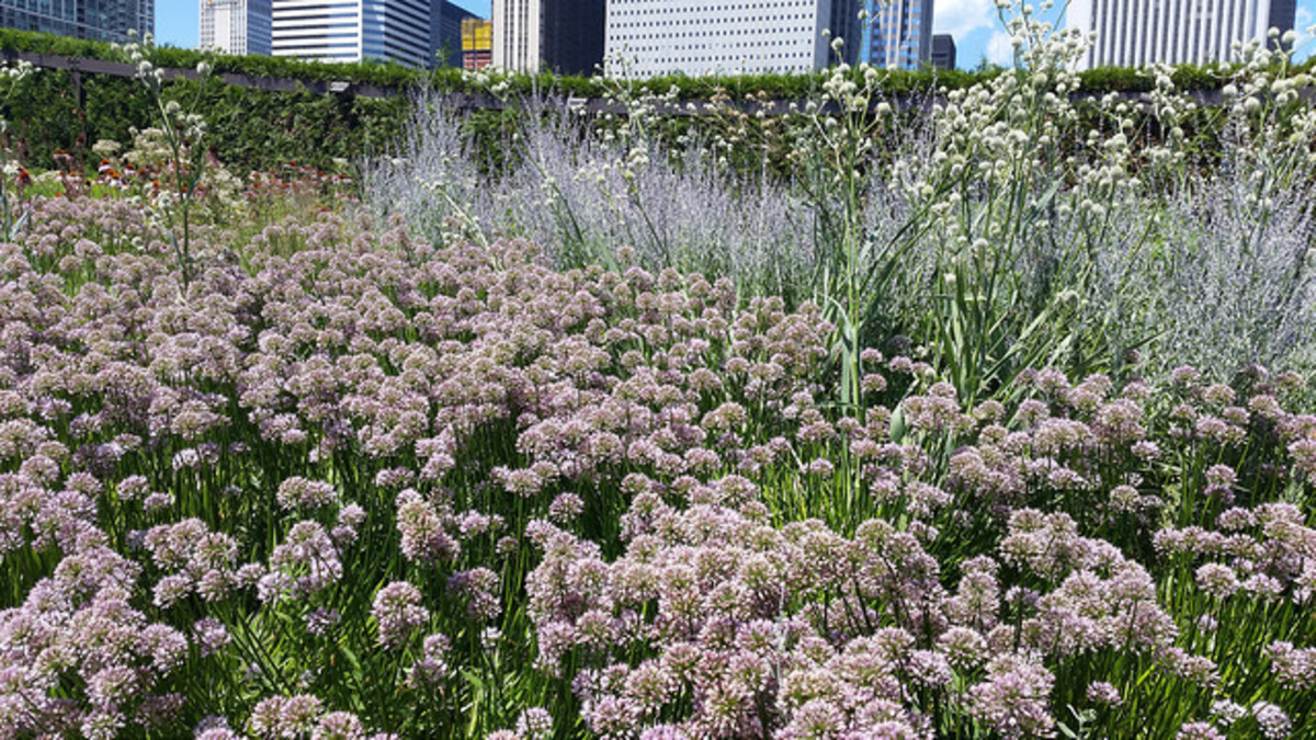 Swath of Alliums in the foreground with Rattlesnake master and Russian Sage in the background