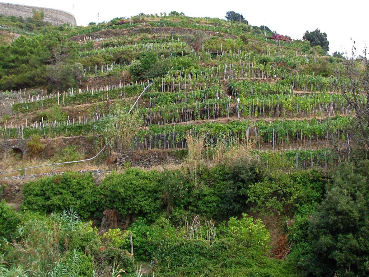 Terraced hillsides of Cinque Terre.
