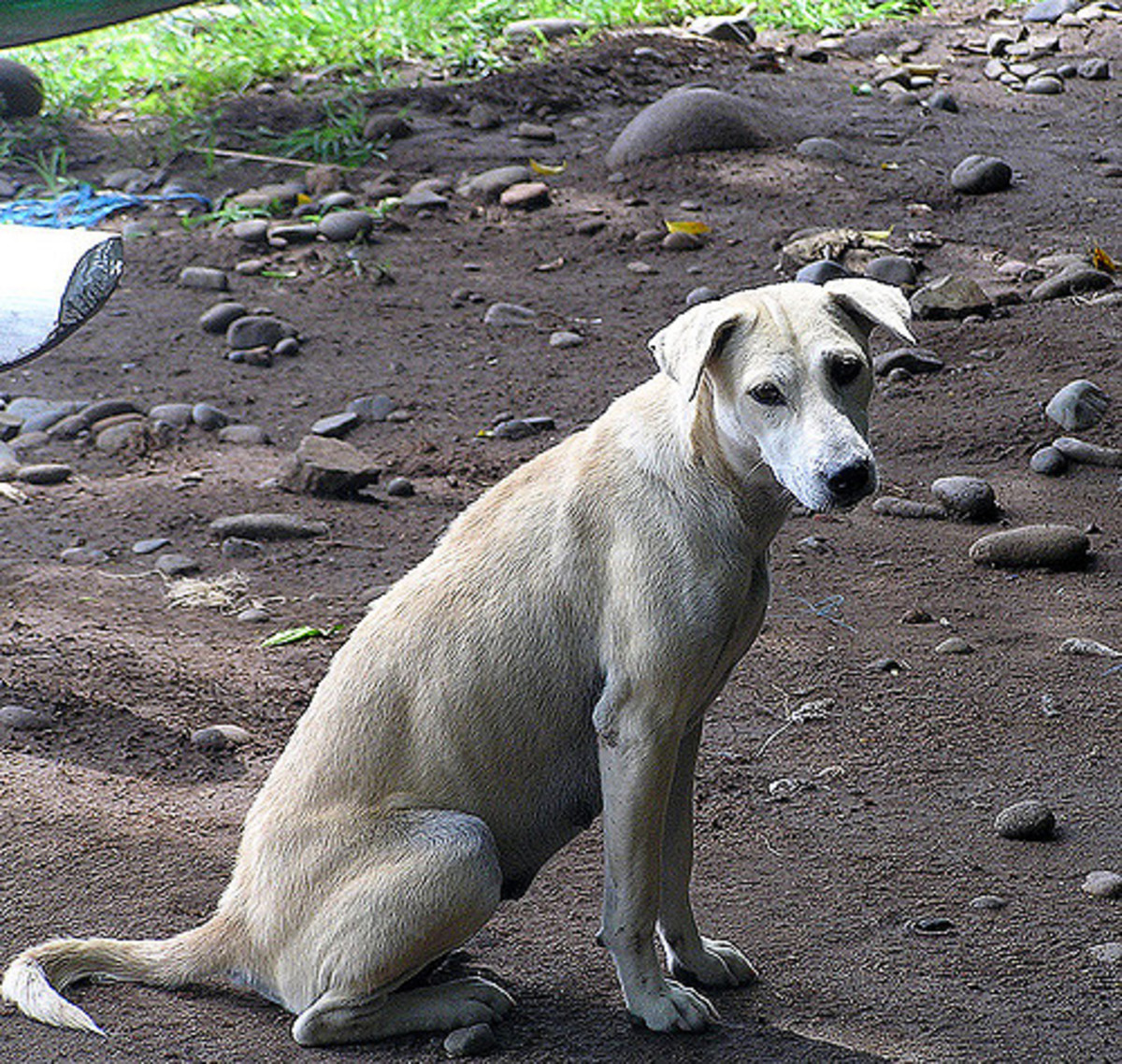 Bali dogs may look cute, but refrain from petting strays- they might bite or have diseases.
