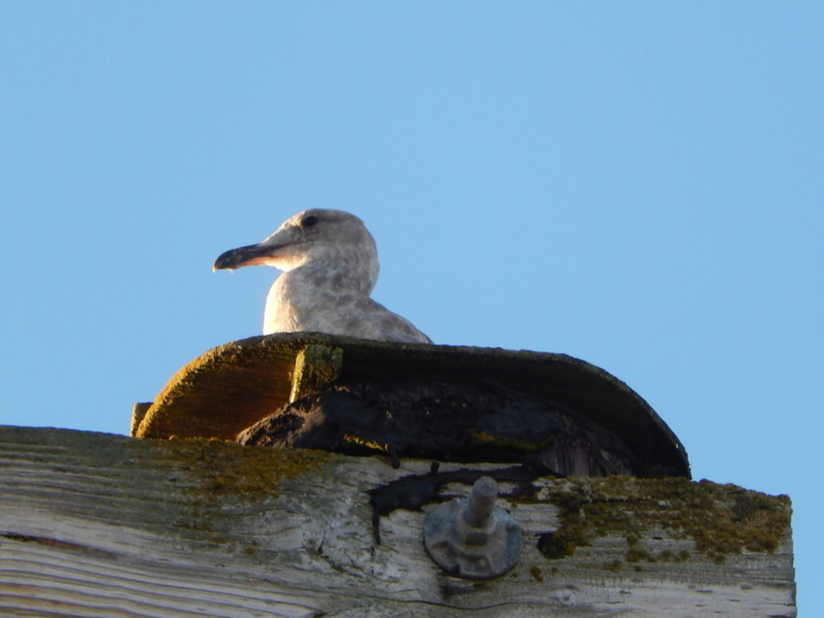 An unconcerned gull nests atop the framework on the dock in the Port of Friday Harbor, watching boats pull in and out.